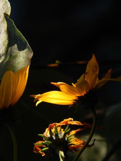 a daisy reflects the sun