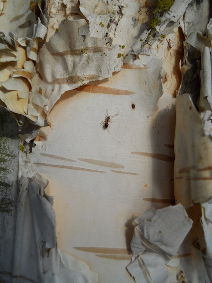 an ant crosses a birch tree