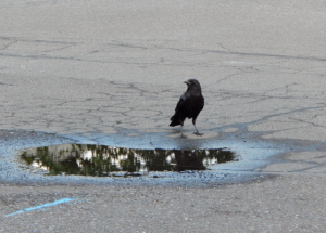 A crow looks at its reflection